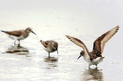 White-rumped_Sandpipers