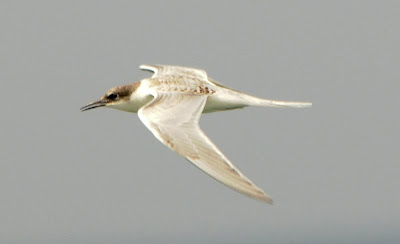 juvenile Roseate Tern