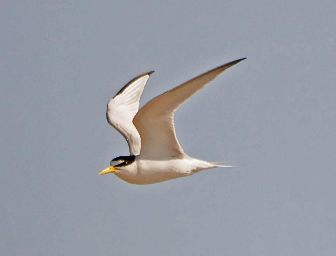 one jackdaw birding least terns common terns