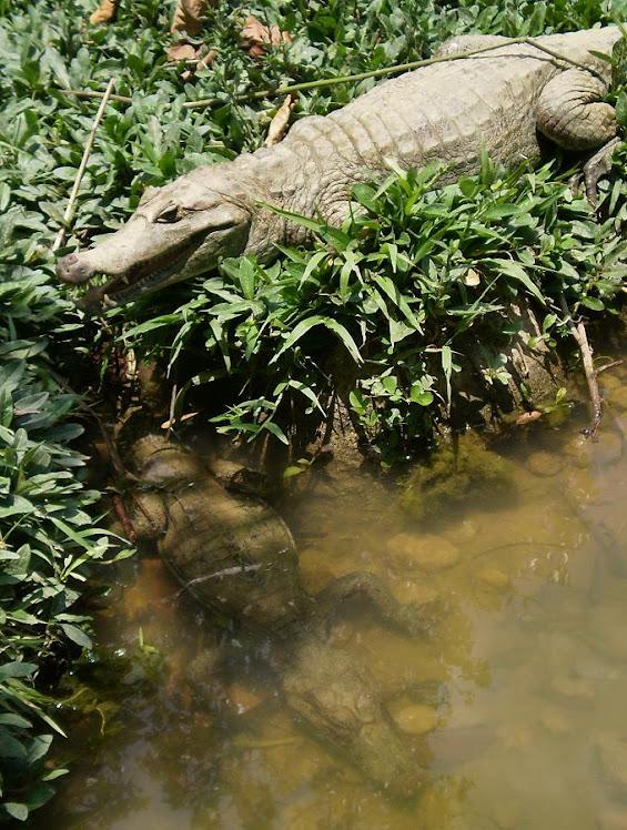 FOTOS DE JUAN OCHOA LOPEZ.- CAIMANES. LOS SAURIOS AMAZONICOS DEL PERU