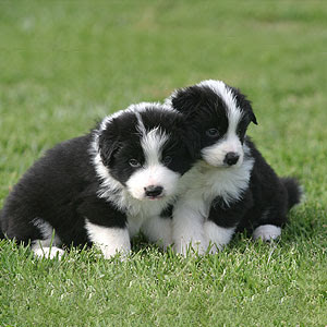http://2.bp.blogspot.com/_BaNr8WtQOtw/RyIJFclggvI/AAAAAAAAABs/5uMUP2iQPVo/s320/puppies_playing2.jpg