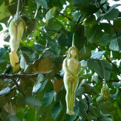 شجرة ثمارها هيئة فتاة Nareepol-Tree.jp