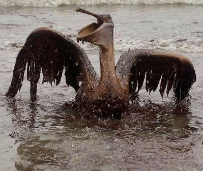 A BROWN PELICAN, VICTIM OF BP OIL SPILL CRYING OUT LOUD FOR HELP?