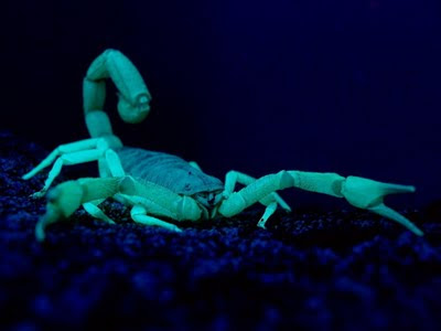night of scorpion The bark scorpions (centriroides exilicauda) body has two parts,  heat of the  daytime they will shelter in the shade and come out at night to hunt for food in the .