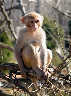 world monkey photos rhesus macaque found in asia in china india afghanistan pakistan burma bangladesh