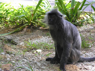 world monley photos silvered langur also known as silvered leaf or lutung found in asia burma borneo vietnam laos cambodia