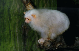 world monkey photos silvery marmoset from south america brazil near amazon basin