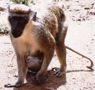 world monkey photos tantalus with child found in africa ghana sudan and kenya