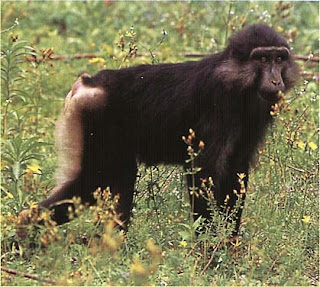 world monkey photos tonkean black macaque monkey lives in indonesia central sulawesi and togian islands