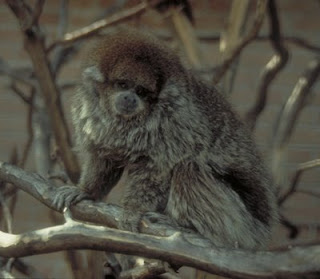 worl monkey photos white eared titi monkey bolivian titi gray found in south america in brazil, paraguay and bolivia