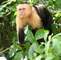world monkey photos white headed capuchin native to central america honduras nicaragua costa rica panama and northern south america