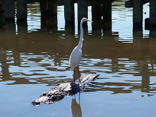 funny bird hitching a ride with alligator