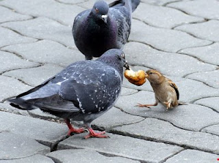 sparrow and pigeon fighting over food funny