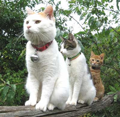 funny crazy animals pic three cats waiting paitiently in a tree for something maybe a bird