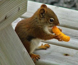 funny squirrels photo of brown squirrel eating cheese twist