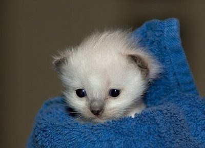 really cute photo of kitten wrapped in blue towel
