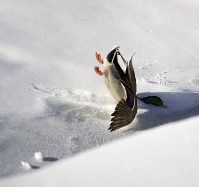 funny duck photo crash landing in the snow