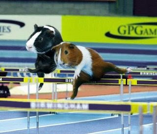 funny animals hamster olympics competing in hurdle photo