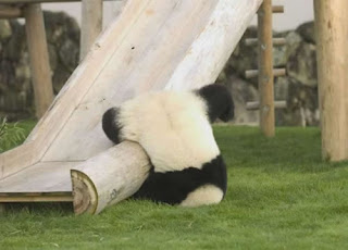 funny panda bear photos fallen down after coming down a slippery slide