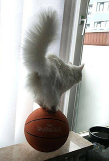 funy animal photos cat balancing on basketball could be harlem globetrotter