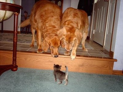 funny dogs and cat photos curious tabby kitten and two golden dogs
