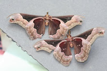 Cherry Moths