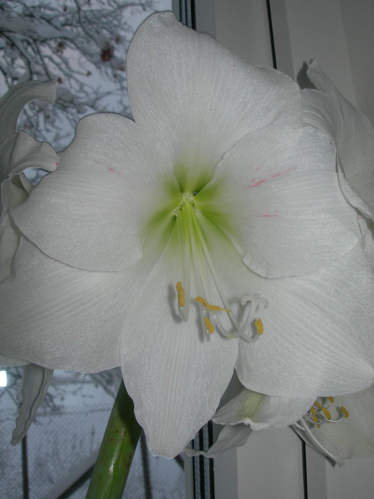 Dorteas lille verden frk amaryllis er blitt voksen for Amaryllis vente