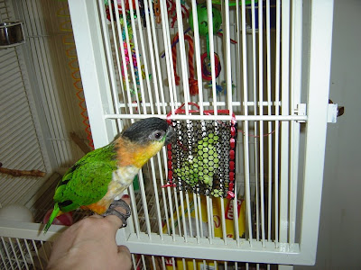 Caique parrot eating lettuce from foraging toy