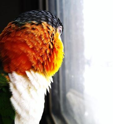black headed caique parrot