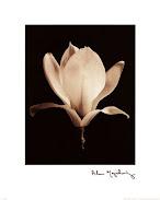 Magnolia (L)