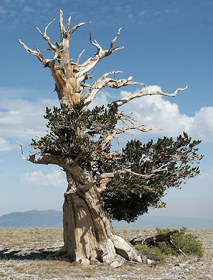 the oldest pine tree in the world