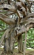 albero millenario