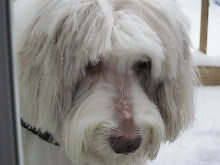 Maggie Our Bearded Collie