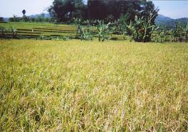 hasil tanaman padi