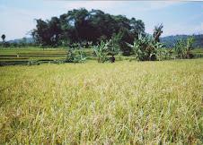 percobaan padi di ciwidey