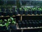 Tanaman sawi organik
