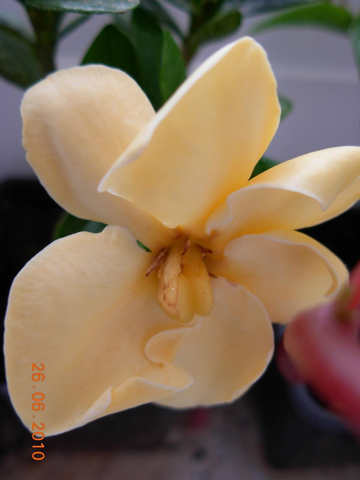 http://2.bp.blogspot.com/_Bj0N00uEZm4/TCbnM046W7I/AAAAAAAACSs/t1KPuunIGbo/s1600/Gardenia+Kleims+Hardy2.jpg