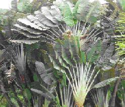 Iegamar expedicion bot nica siglo xxi planta ornamental for Plantas ornamentales croto