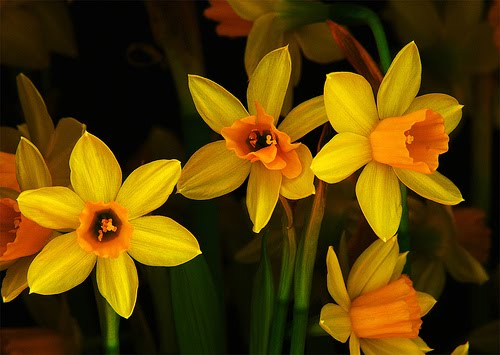 daffodils poem by william wordsworth. a poem about daffodils.