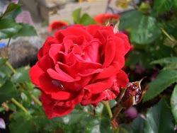 Roser er røde...