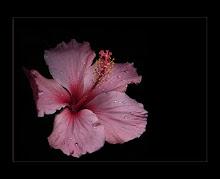 La belleza del Hibisco