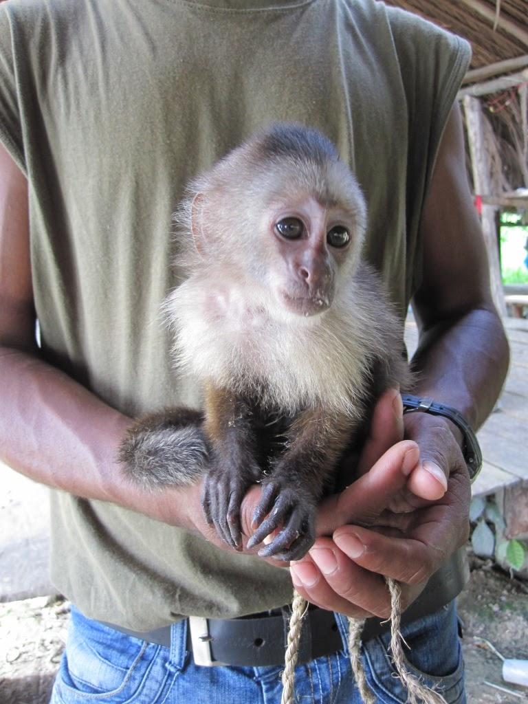 Einzigartig Haustier Affe Das Beste Von Im Hatte Eine Gallerynische Familie Diesen Kleinen