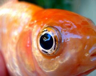 Cocinando versos el ojo de pez for Espejo ojo de pescado
