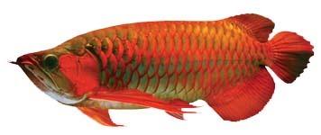 ikan arwana super red merupakan ikan hias air tawar ung