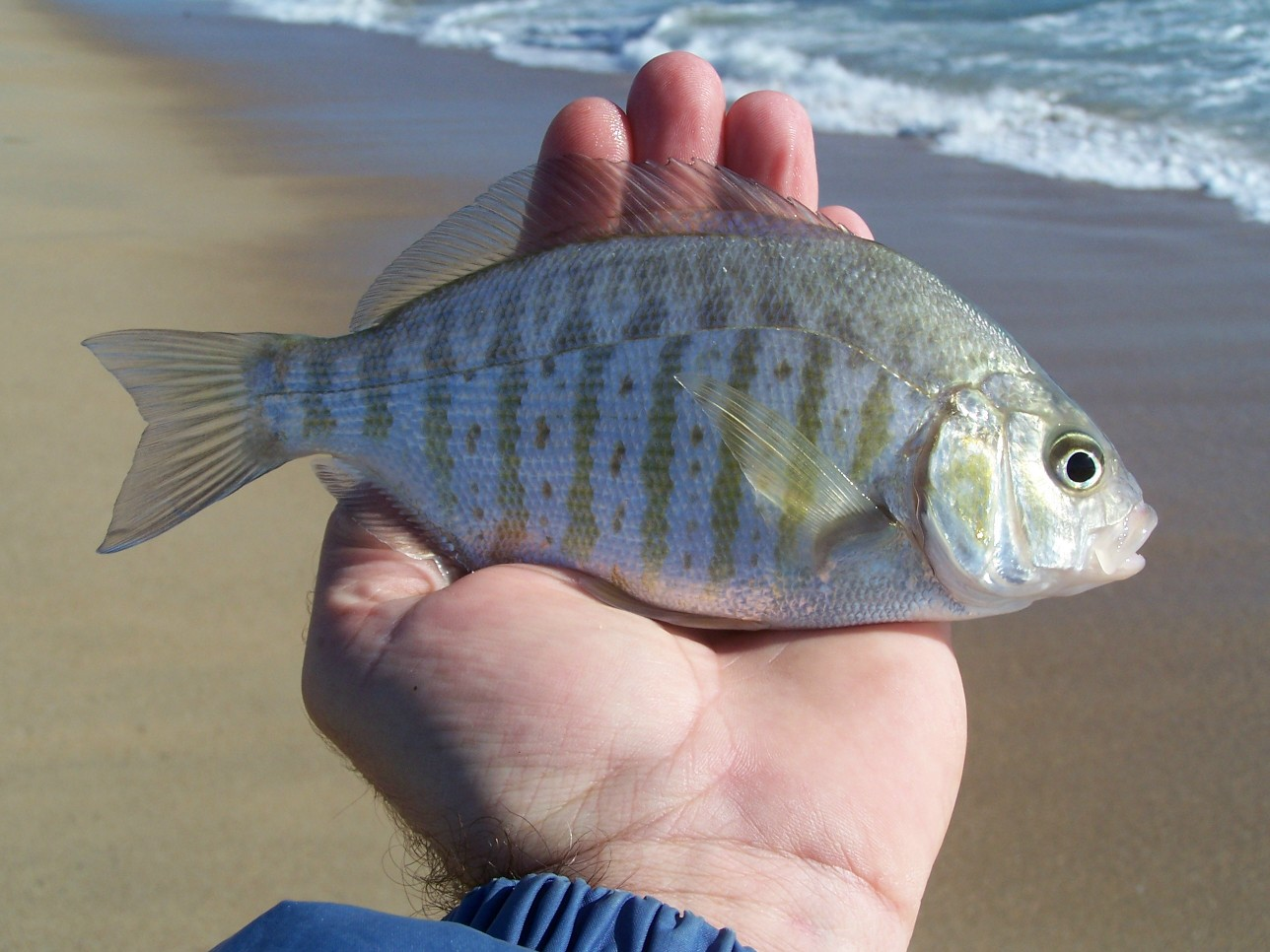 Sand perch fish for Perch fish facts