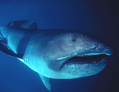 megamouth_shark_realmonstrosities.com