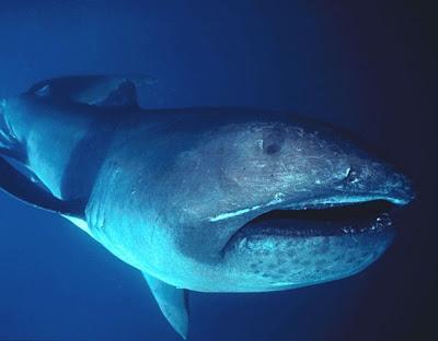 megamouth_shark_realmonstrosities.com
