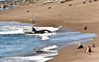 Orcas Season in the best of the season - Punta Norte