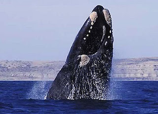 Right whale photo from whale watching boat