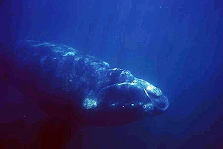 Right Whale foto underwater